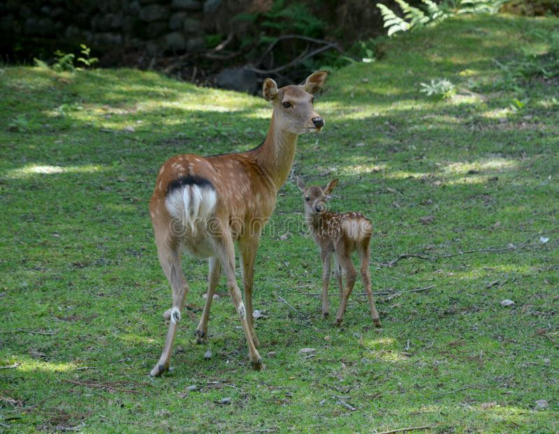 Baby Sika Deer and Mum royalty free stock images