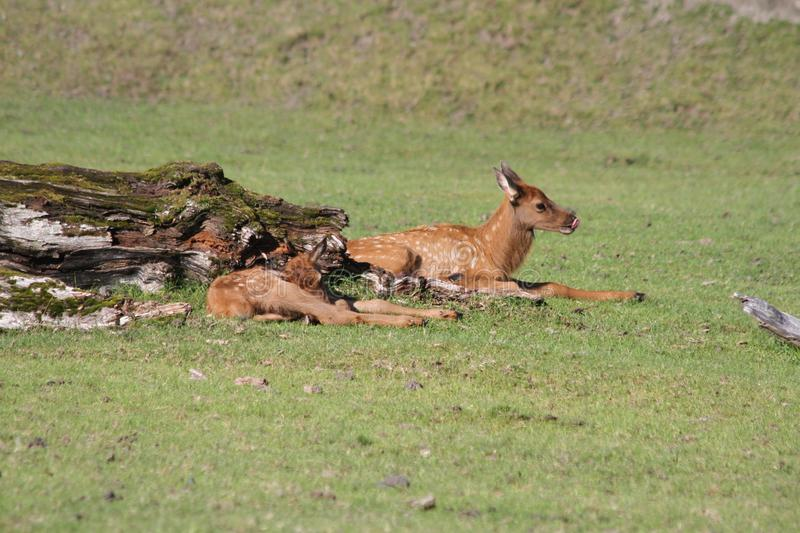 Baby Sitka Black Tail Deer in the Alaska Wildlife Conservation Center royalty free stock photos