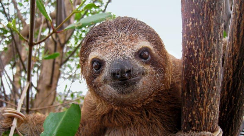 Baby sloth stock photos