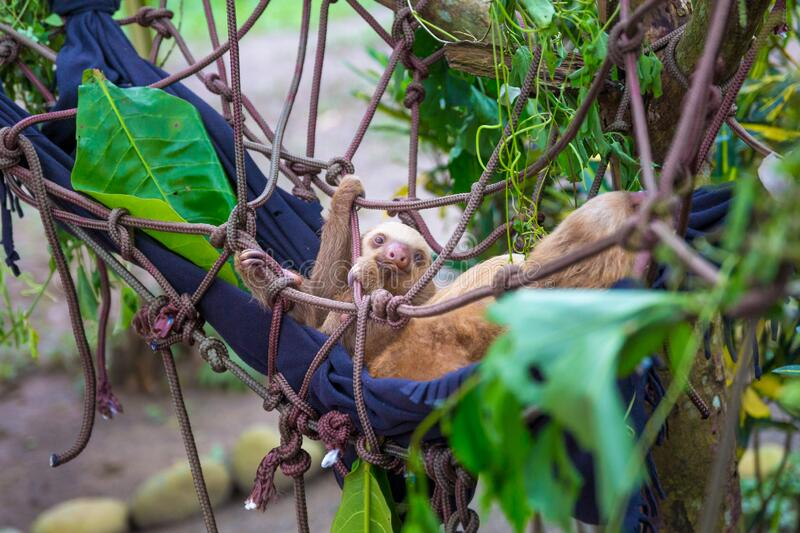 Baby sloth hanging  in his nest royalty free stock photography