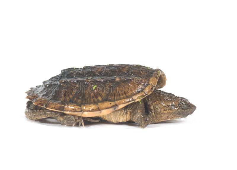 Download Baby snapping turtle stock image. Image of animal, background - 6282887