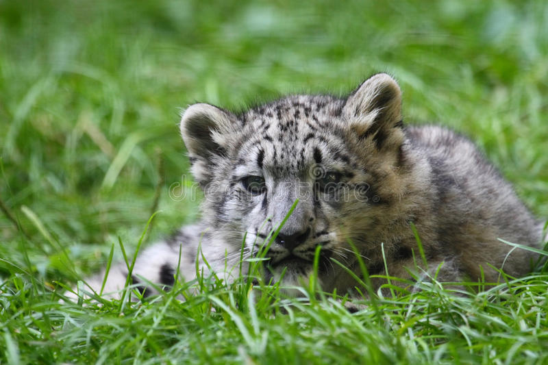 Baby Snow Leopard Royalty Free Stock Photos