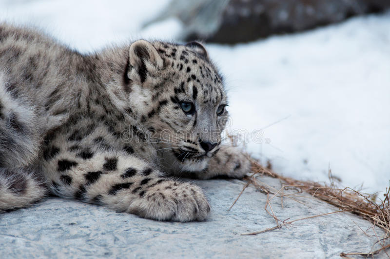 Download Baby snow leopard stock photo. Image of looking, spots - 22726022