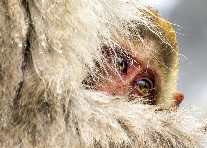 The baby of Snow Monkey royalty free stock photo