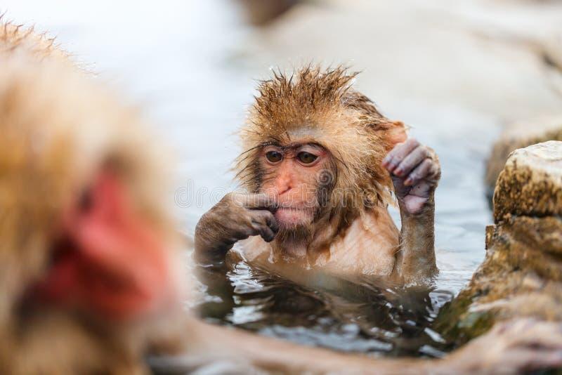 Baby Snow Monkey. Japanese Macaque at onsen hot springs of Nagano, Japan royalty free stock photography