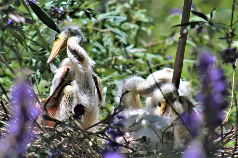 Snowy Egret, Phoenix Zoo, Arizona Center for Nature Conservation, Phoenix, Arizona, United States stock images