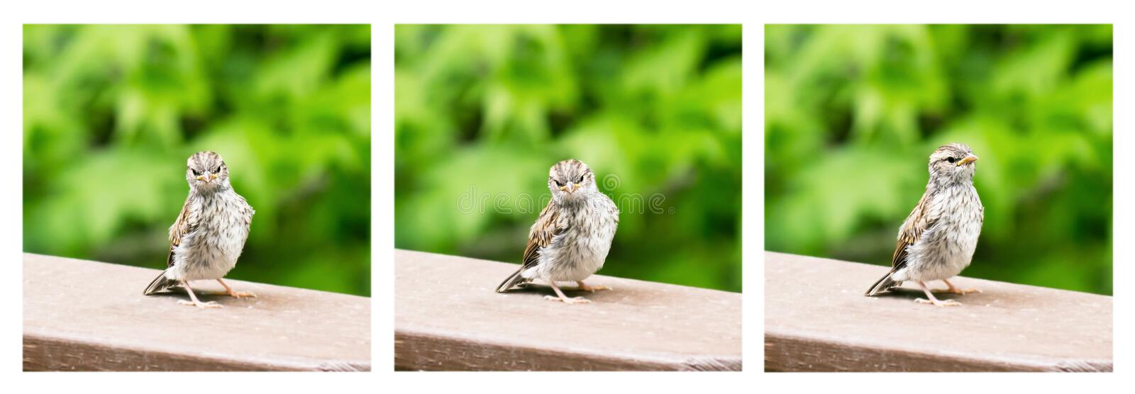 Baby sparrow expressions sequence stock image