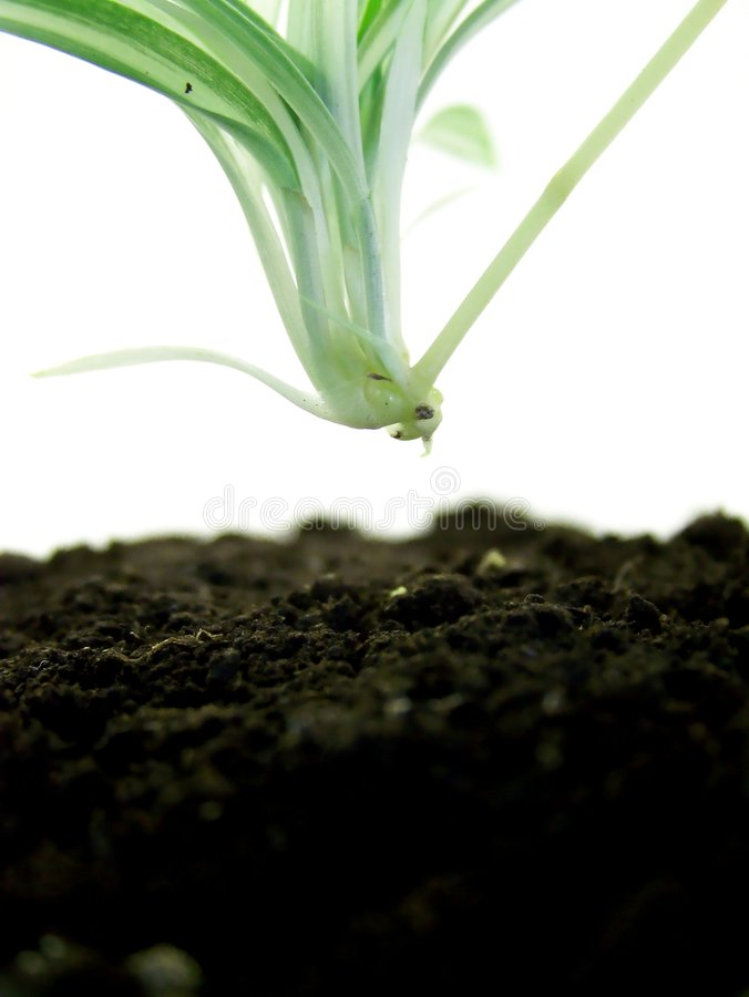 Free Baby Spider Plant About To Take Root Stock Image - 4471441