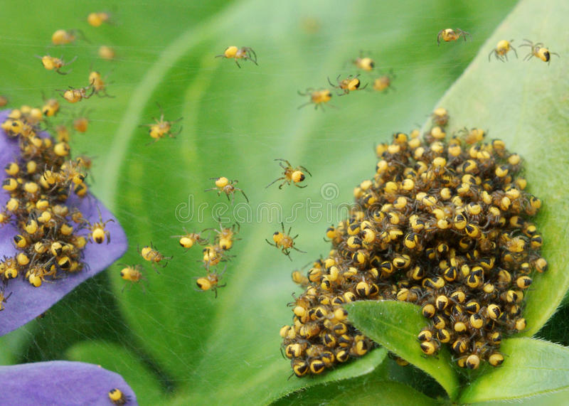 Baby spiders royalty free stock photography