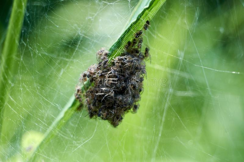 Baby spiders being born in Amazing nature. Spiders spin out of nest royalty free stock image
