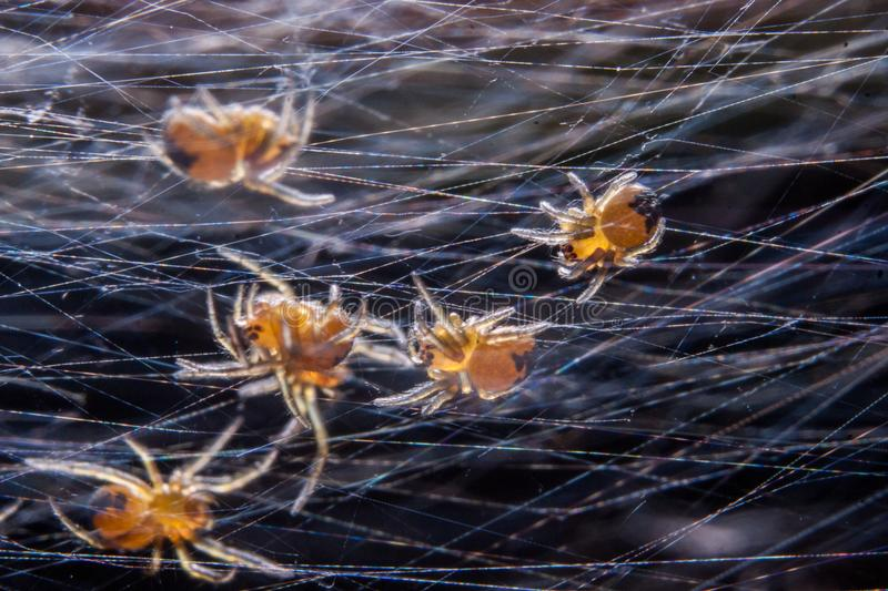 Baby spiders on a web royalty free stock photos