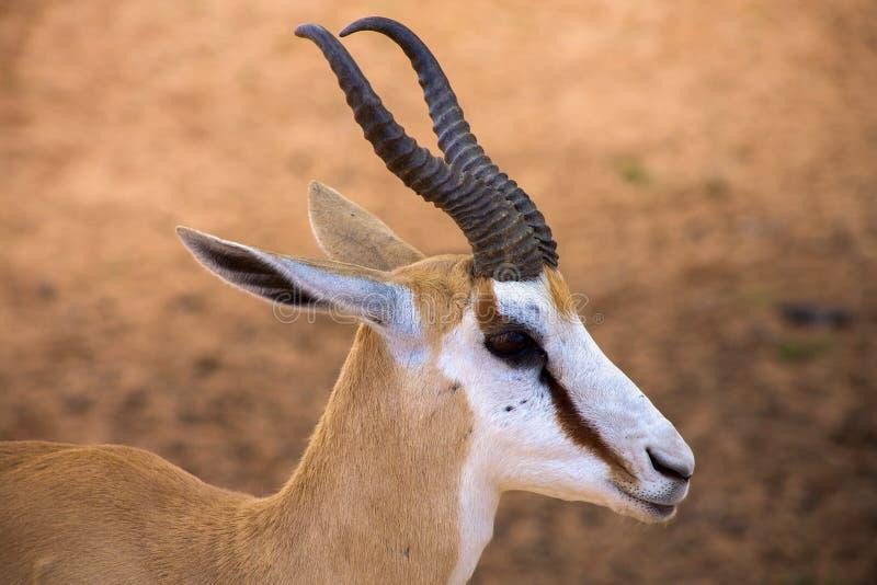 Baby Springbok royalty free stock image