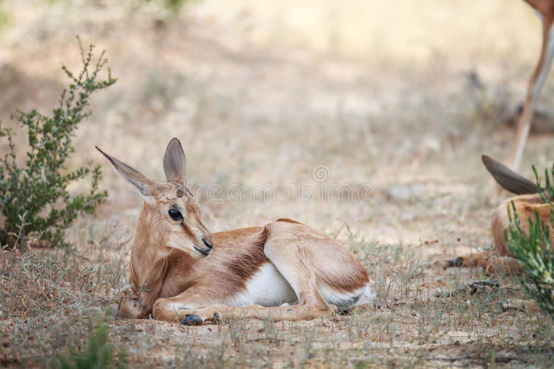 Baby Springbok laying in the grass. stock photography