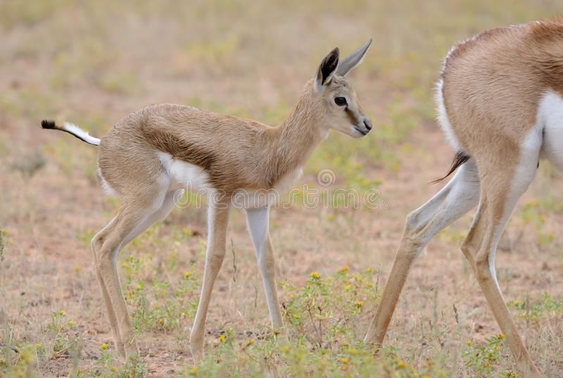 Baby Springbuck standing behind its mother in the rain royalty free stock photos