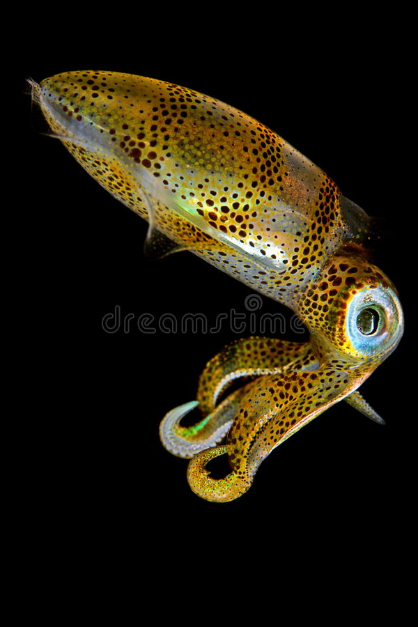Baby Squid III royalty free stock photography