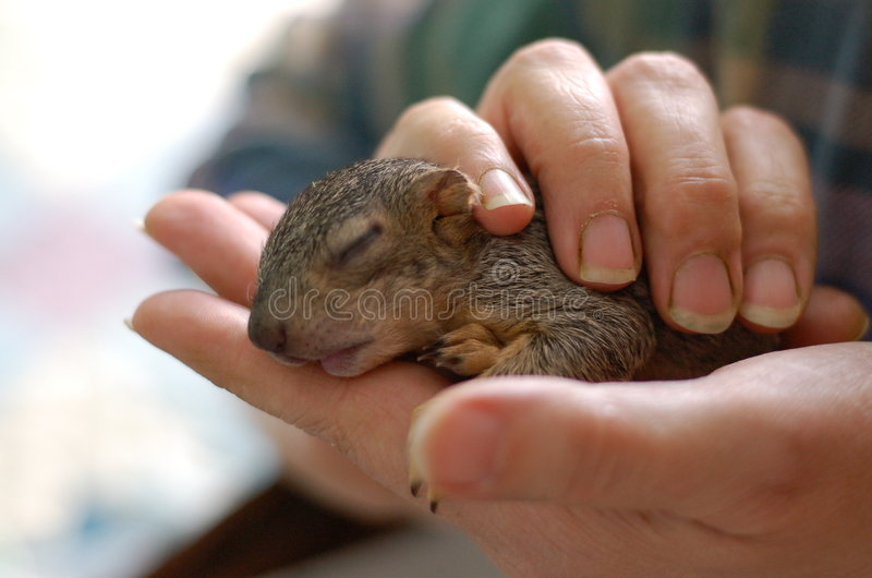 Baby Squirrel 1 stock image