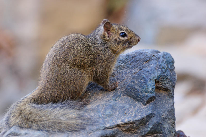 Baby Squirrel. On the stone stock image