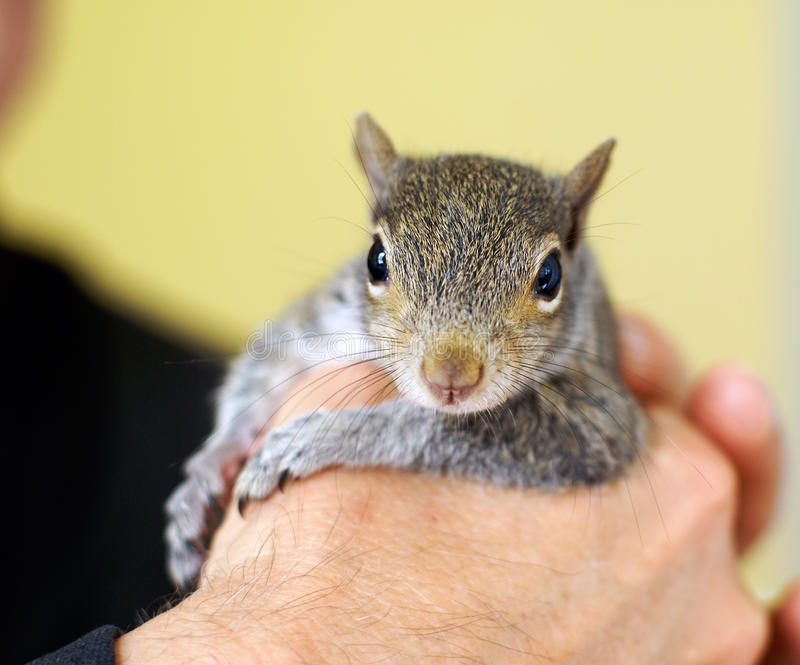 Baby squirrel. Eastern grey orphan baby squirrel that was raised by humans and released back into the wild stock photography