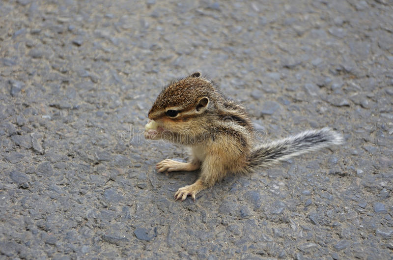 Baby Squirrel Eating. Something on the ground stock photos