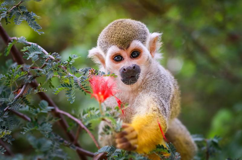 Baby Squirrel Monkey and Flower !. Baby 6-month old Squirrel Monkey Saimiri holding a flower royalty free stock photos