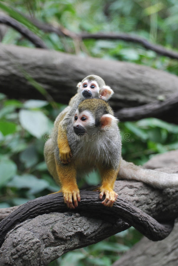 Baby Squirrel Monkey on It`s Mom`s Back. Really cute baby squirrel monkey on it`s mother`s back stock images
