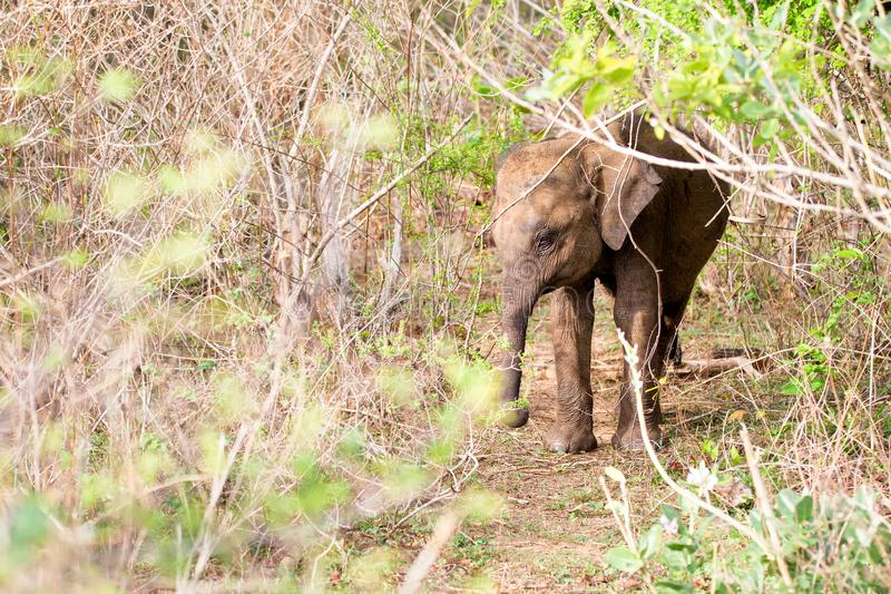 Baby Sri Lankan Elephant in the Undergrowth of Udawalawe National Park in Sri Lanka royalty free stock photos