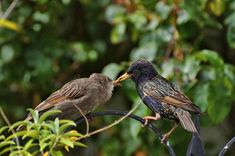 Baby starling being fed by parent. Juvenile common starling eagerly taking food from its parent royalty free stock images