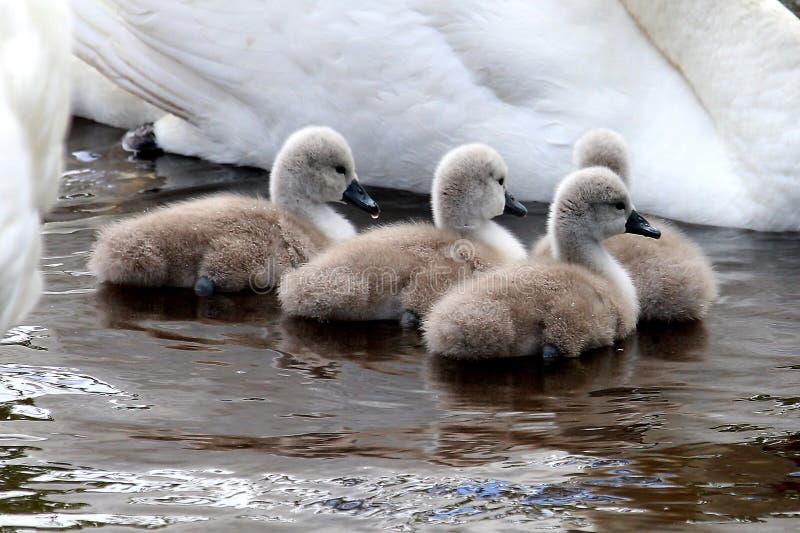 Baby stodde zwanen (zegels) in water royalty-vrije stock foto