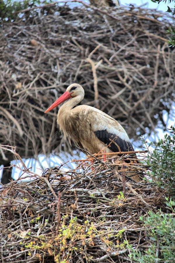 Baby stork on a tree stock photo
