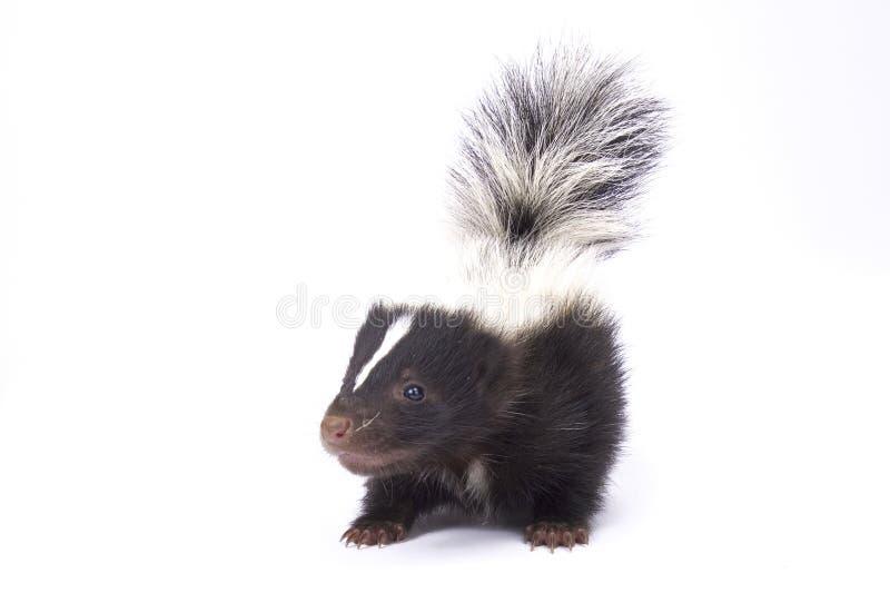 Baby striped skunk, Mephitis mephitis royalty free stock photos