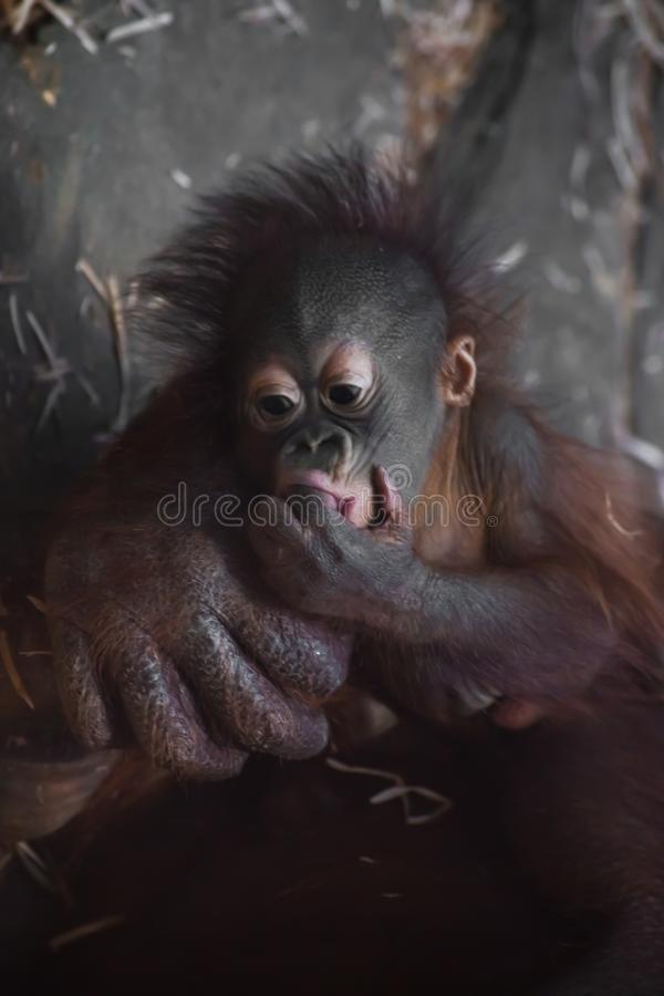 Baby sucks fingers. A cute little breast orangutan baby and a big reliable hand of his mother. Monkey royalty free stock photos
