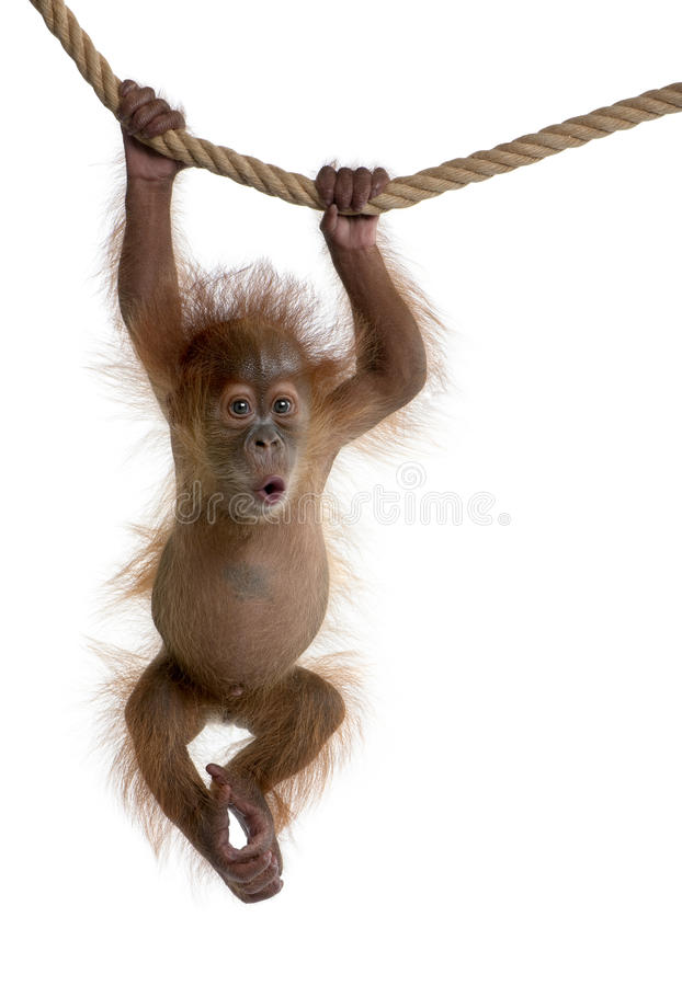 Baby Sumatran Orangutan hanging on rope royalty free stock photo