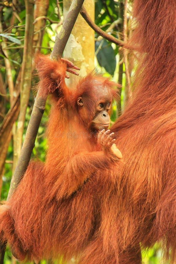 Baby Sumatran orangutan next to its mother n Gunung Leuser National Park, Sumatra, Indonesia stock photos