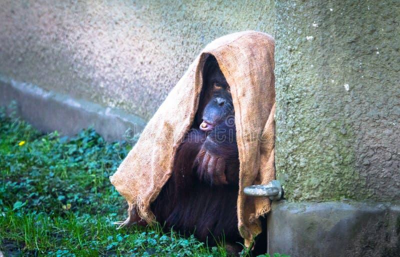 Baby Sumatran orangutan Pongo abelii royalty free stock photography