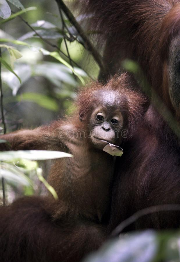 Baby Sumatran orangutan Pongo abelii with mother in jungle stock photography