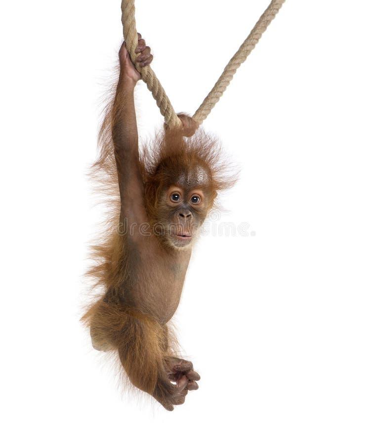 Baby Sumatran Orangutang 4 months old, hanging on a rope royalty free stock photography
