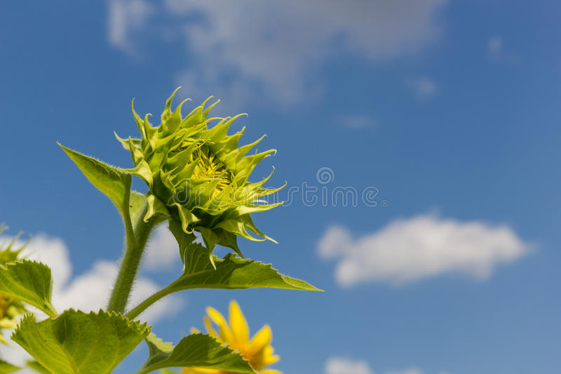 Baby sun flowers stock images