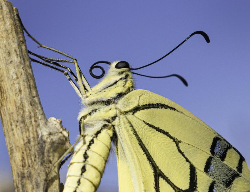 Baby Swallowtail Butterfly Closeup Portrait royalty free stock image
