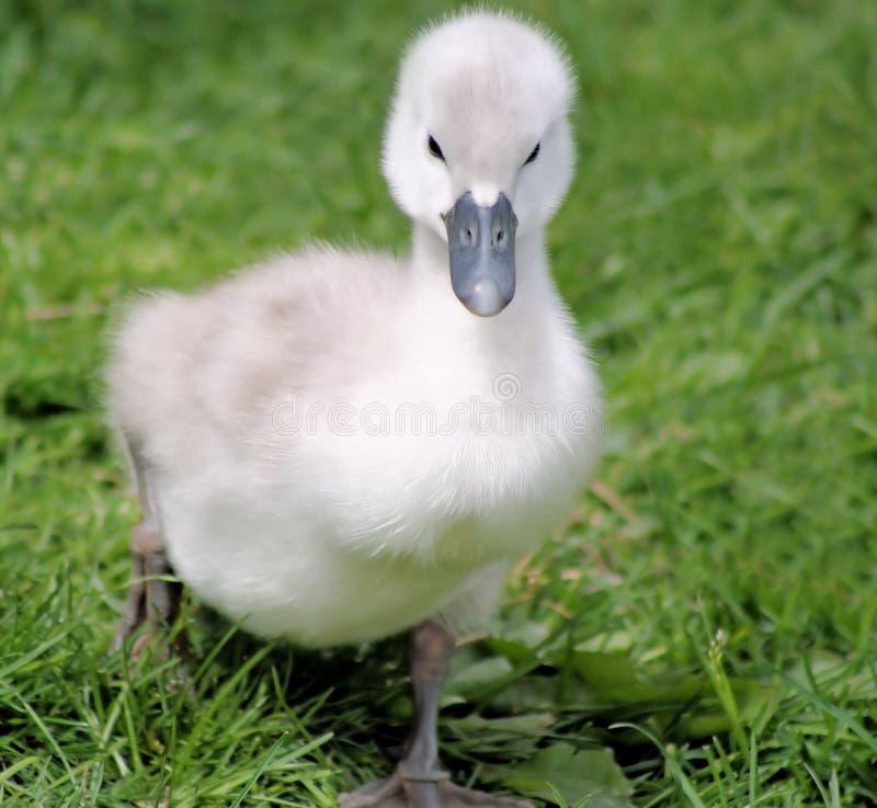 Free Baby Swan Stock Photo - 28519090