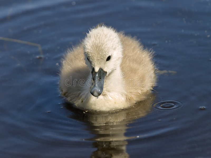 Baby swan royalty free stock photos