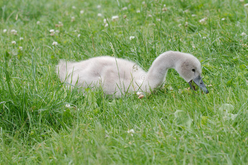 Download Baby Swan Feeding In The Grass Stock Photo - Image: 26361414