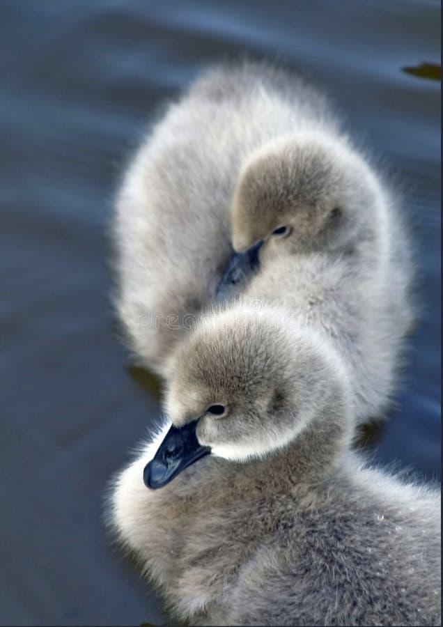 Baby Swans Stock Image