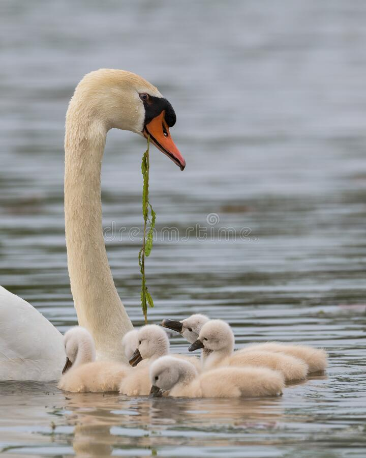 Cygnets with mother swan on water. Baby swans cygnets with mother mute swan at Lake Katherine in Palos Heights, Illinois stock image