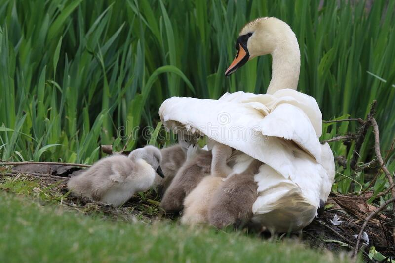 Baby Swans Sheltering under the wing of their mother royalty free stock image