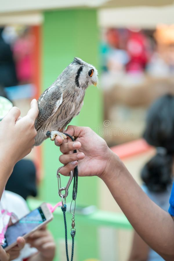 A baby tame owl standing on woman finger at animal show. Side view royalty free stock images