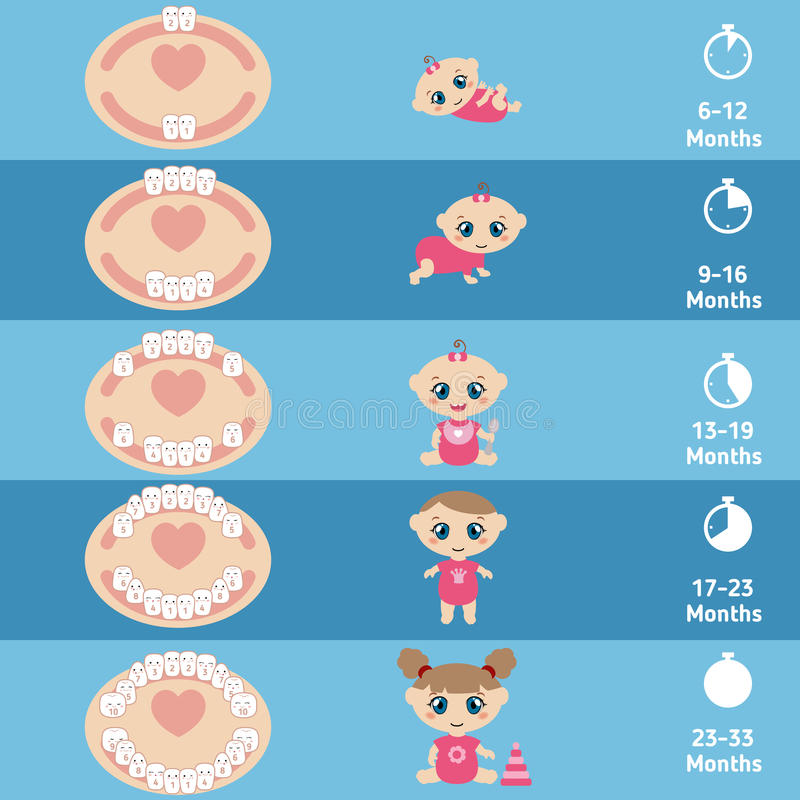 Baby teething chart. Temporary teeth - names, groups, period of eruption and shedding of the children stock illustration