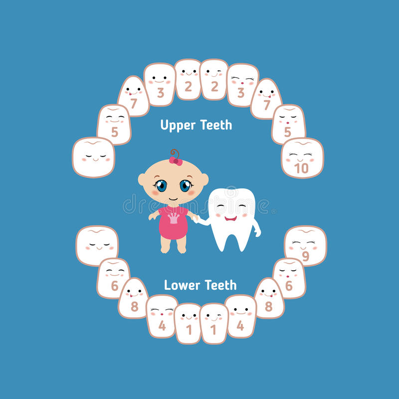 Baby teething chart. Temporary teeth - names, groups, period of eruption and shedding of the children vector illustration