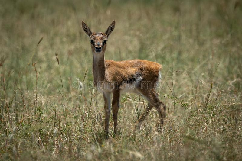 Baby Thomson gazelle in grass eyeing camera stock photos