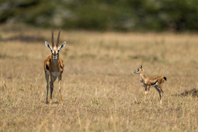 Baby Thomson gazelle watches mother eyeing camera royalty free stock photos