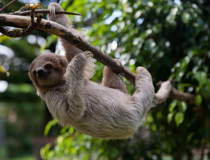 Baby three toed sloth royalty free stock image